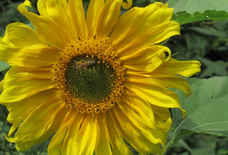 zonnebloemen etc aug 2017 085
